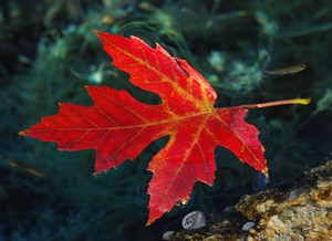A gorgeous autumn leaf floats on a stream at Chickasaw National Recreation Area in Sulphur.