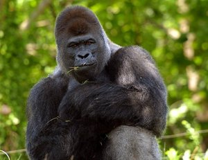 A gorilla seems to know that his photo is being taken and strikes a pose in the six-acre Great EscAPE exhibit at the Oklahoma City Zoo.