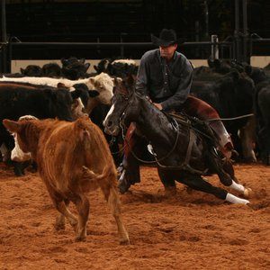 The 2008 Senior World Champion cutting horse works a cow at an American Quarter Horse Association event at State Fair Park in Oklahoma City.