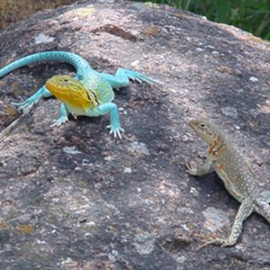 A pair of mountain boomer lizards warm themselves on a rock in Medicine Park near the Stardust Inn Bed & Breakfast.