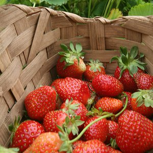 Lush, ripe strawberries are popular at U-pick farms.