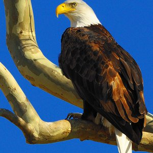 A majestic bald eagle perches at Grand Lake in northeastern Oklahoma. Many eagles make their winter homes near lakes and rivers in Oklahoma and visitors can join eagle watch events around the state during the winter months.