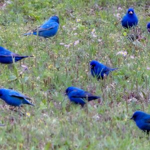 A flock of Indigo Buntings stop to feed near Lake Eufaula on a spring day.