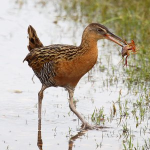 A King Rail feeds on a crayfish at Red Slough Wildlife Management Area near Idabel in southeast Oklahoma.
