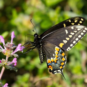 A Black Swallowtail butterfly on spring wildflowers in Norman near Lake Thunderbird.