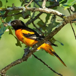 Baltimore Oriole near the shoreline of Lake Thunderbird in Norman.