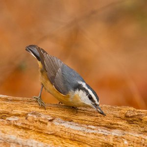 A Red-breasted Nuthatch forages near Lake Thunderbird in Norman.