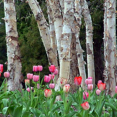 Tulips line up under the trees in Honor Heights Park in Muskogee where the annual Azalea Festival takes place.