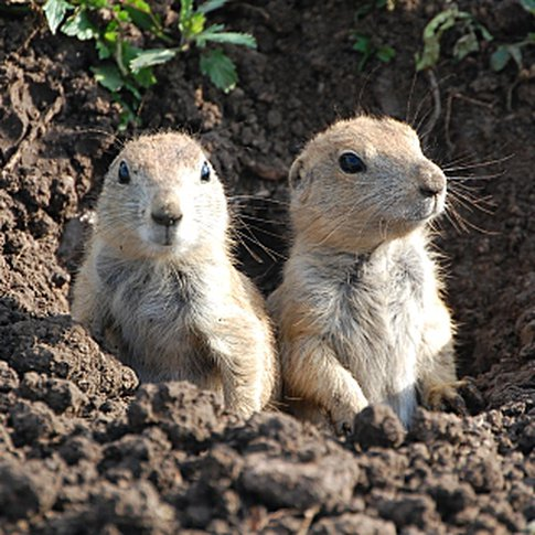 A pair of young prairie dog pups cautiously survey their surroundings at the prairie dog village in the Wichita Mountains Wildlife Refuge near Lawton.