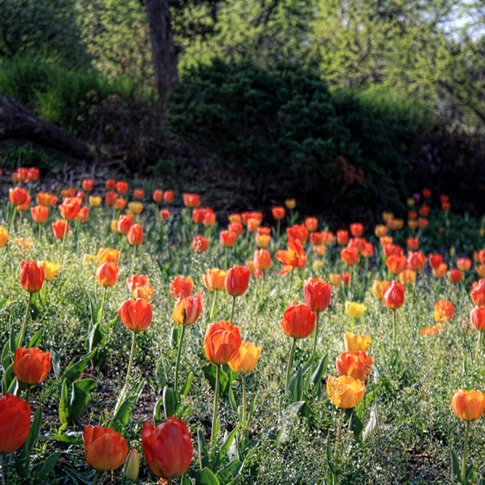 Brightly colored tulips create a cheery greeting for visitors to Muskogee's Honor Heights Park during the annual Azalea Festival each April.