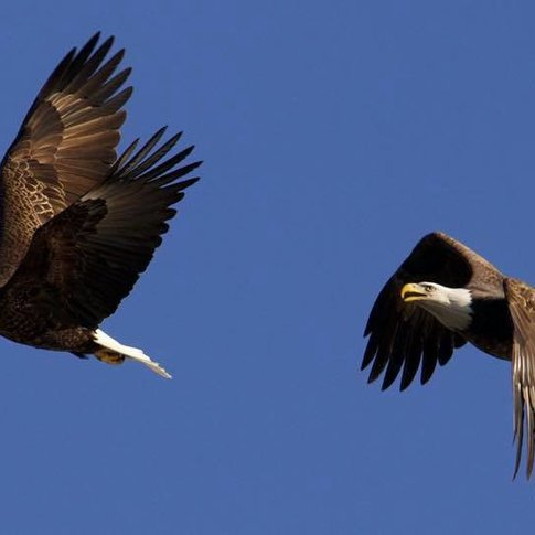Eagles take flight on a clear day in northeast Oklahoma.