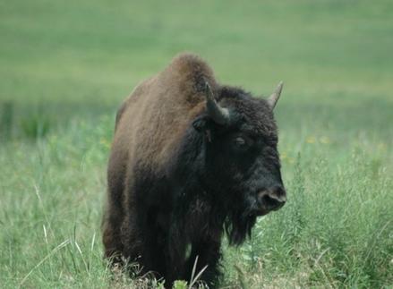 A buffalo stands alone on the plains at the Tallgrass Prairie Preserve near Pawhuska in northeastern Oklahoma.