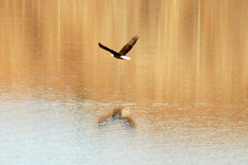 A bald eagle in flight skims across the surface of the lake in Black Mesa State Park near Kenton.  The park is located in the panhandle at the junction of Oklahoma, Colorado and New Mexico.  Black Mesa is the highest point in Oklahoma.