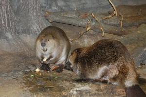 Visitors to the Oklahoma Aquarium can see beavers hard at work in the Ozark Stream exhibit.