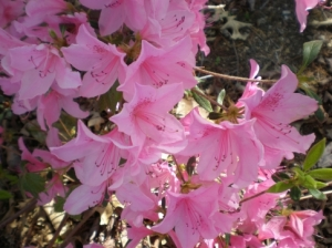 Muskogee's Honor Heights Park is pretty in pink during the annual Azalea Festival each April