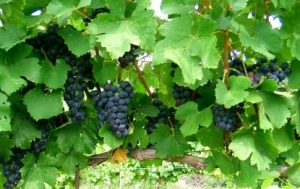 Luscious grapes await the harvest at Tres Suenos Vineyards and Winery in Luther.