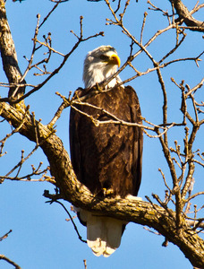 A mature bald eagle wintering in southeast Oklahoma's Le Flore County.