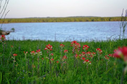Wildflowers on the shores of Lake Texoma.