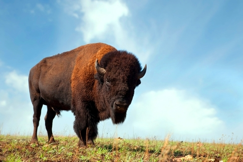 Several locations across Oklahoma offer the opportunity to see buffalo herds roaming wild.  A few of the top options include Wichita Mountains Wildlife Refuge near Lawton and the Tallgrass Prairie Preserve in Pawhuska.