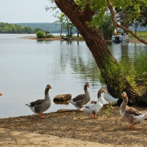 The resident geese within Snowdale Area at Grand Lake State Park leave the lake for dry land.